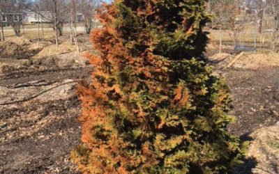 Winter Browning of Evergreen Trees and Shrubs